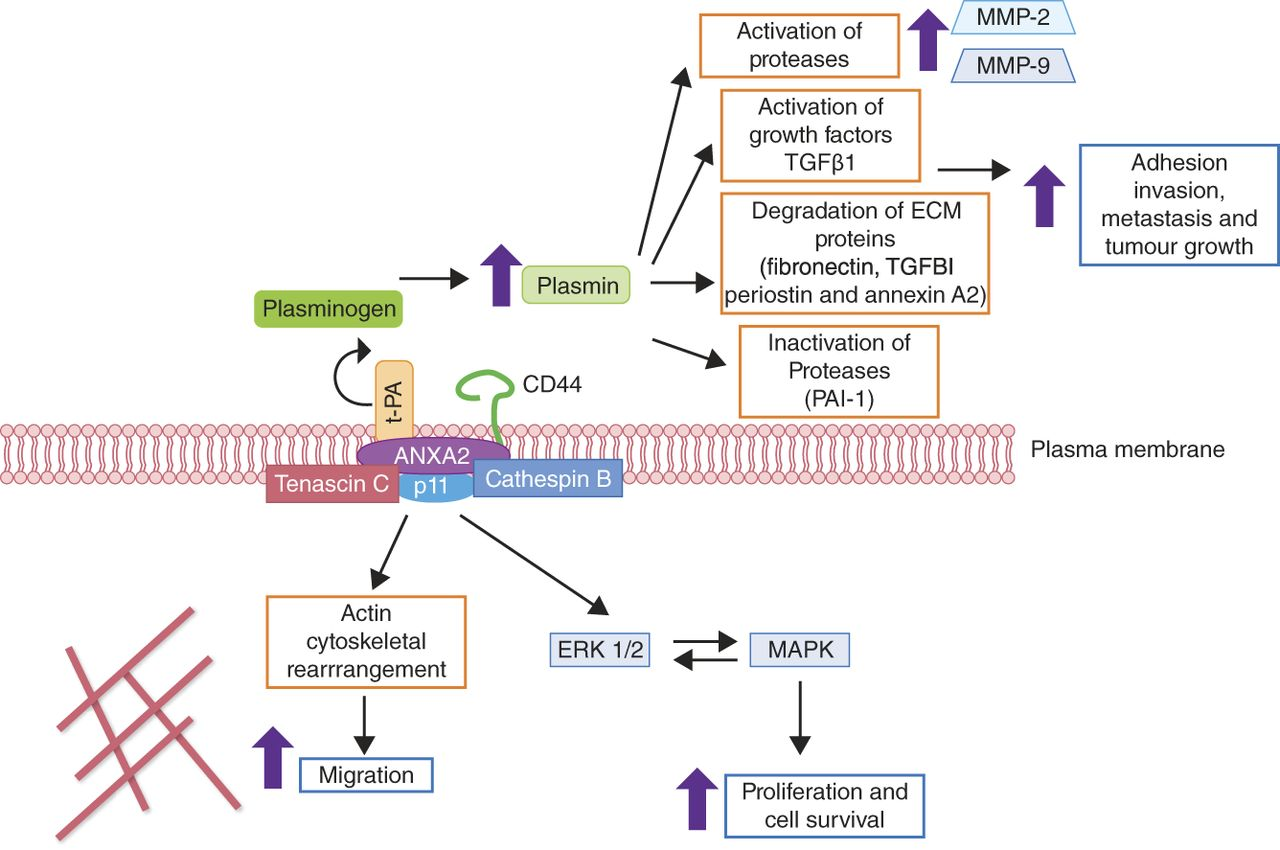 WOMEN IN CANCER THEMATIC REVIEW: Ovarian cancer–peritoneal