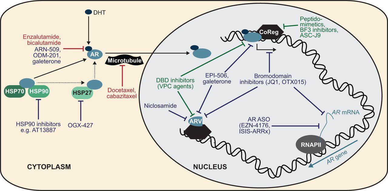 Androgen receptor signaling in castration-resistant prostate cancer