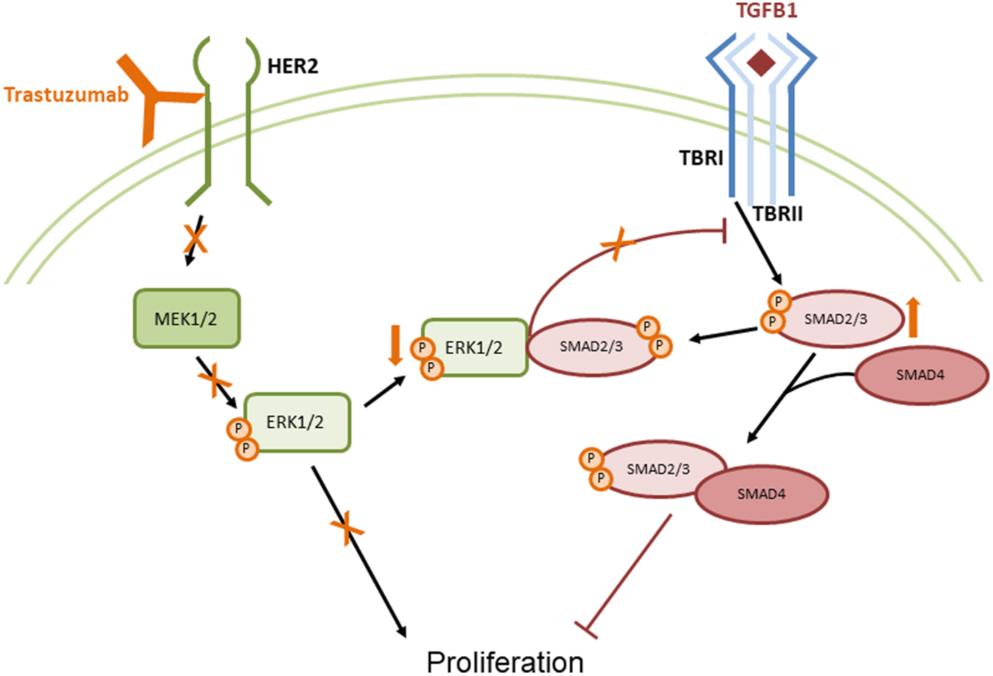 Trastuzumab inhibits pituitary tumor cell growth modulating the TGFB