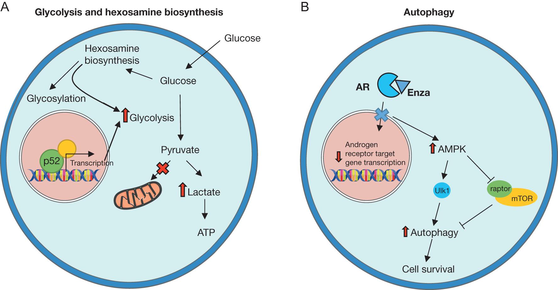 Molecular underpinnings of enzalutamide resistance in ... on