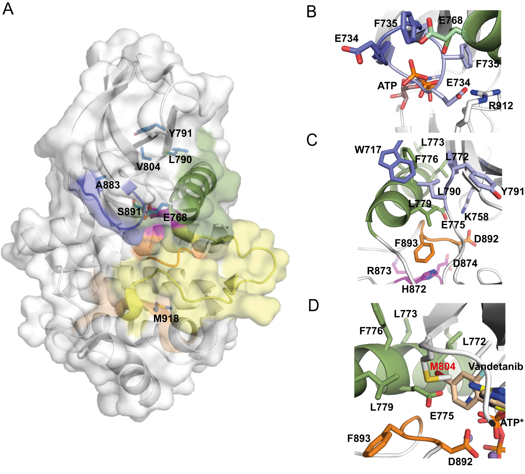 Structure and function of RET in multiple endocrine neoplasia type 2