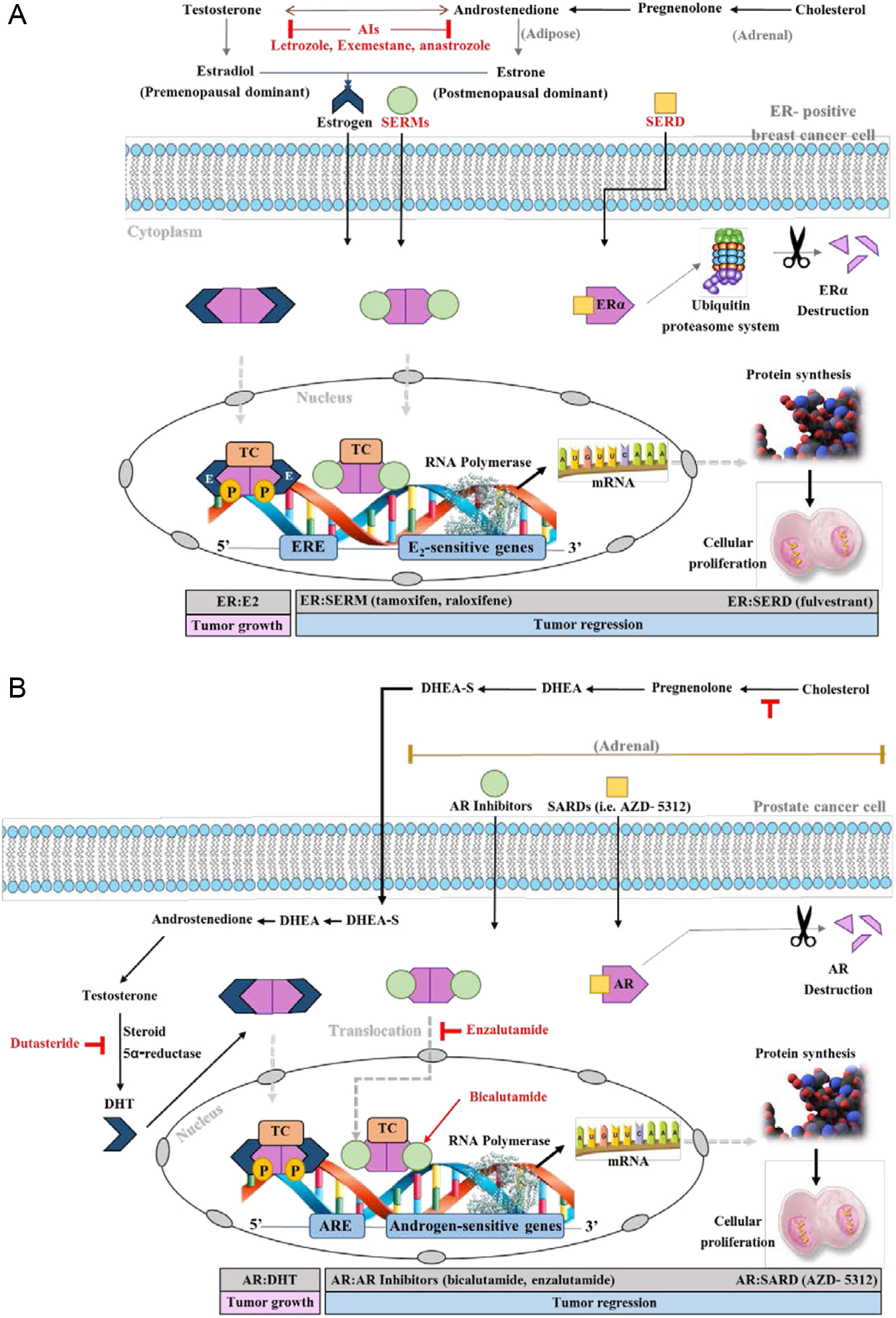 A unifying biology of sex steroid-induced apoptosis in