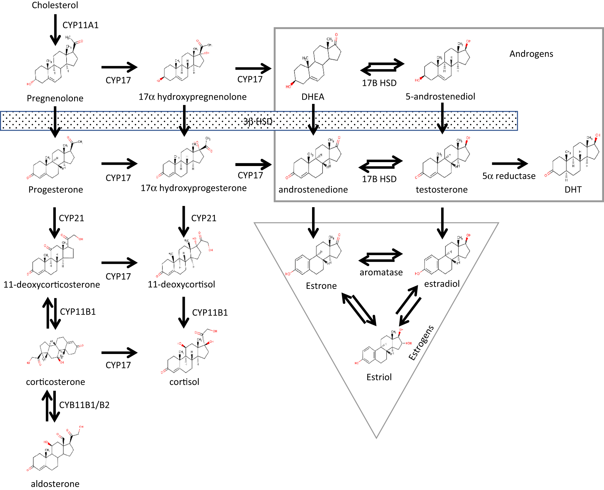 Sex Steroids In The Tumor Microenvironment And Prostate Cancer Schumacher Se 1520 Wiring Diagram Schematic Of Steroid Biosynthesis Pathway Data From Locke Et Al 2009 A Full Color Version This Figure Is Available At