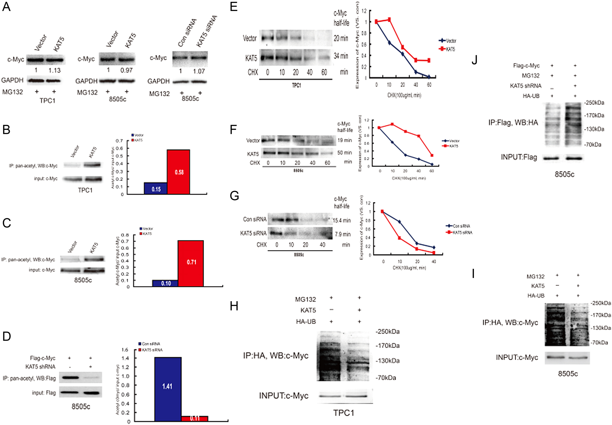 KAT5 promotes invasion and metastasis through C-MYC