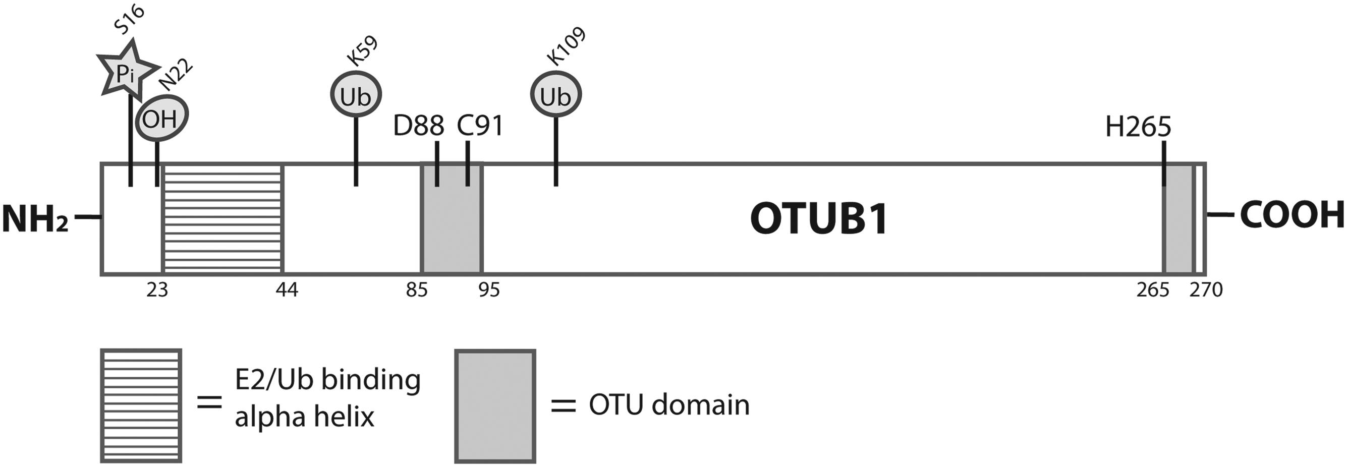Otubain 1: a non-canonical deubiquitinase with an emerging