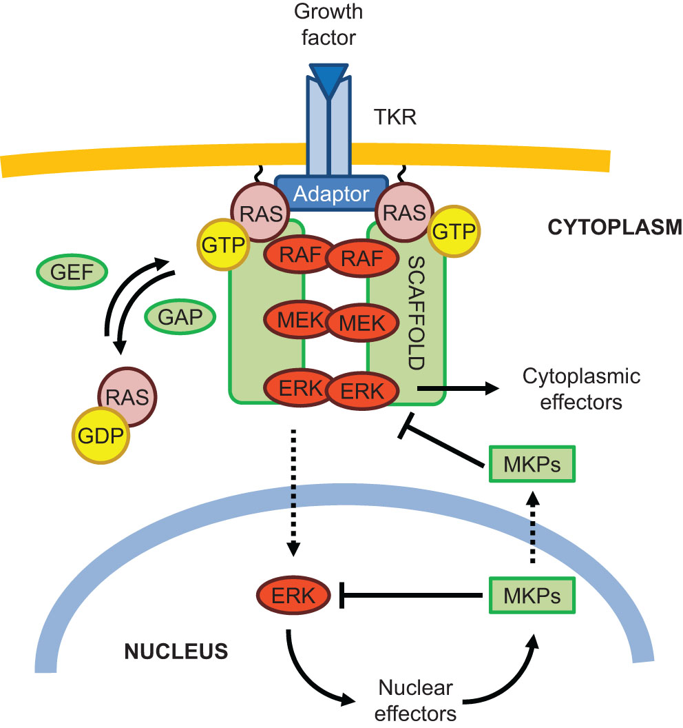 Regulators Of The RAS-ERK Pathway As Therapeutic Targets